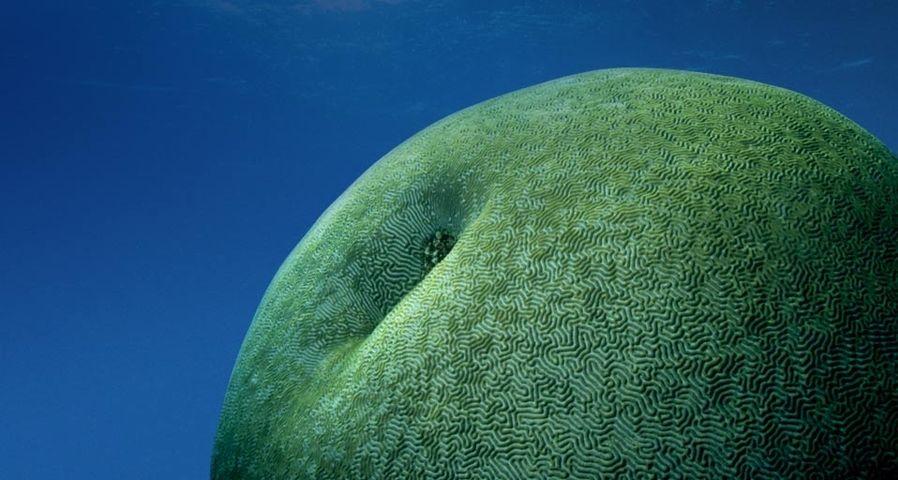 「ノウサンゴ」オーストラリア, グレート・バリア・リーフ