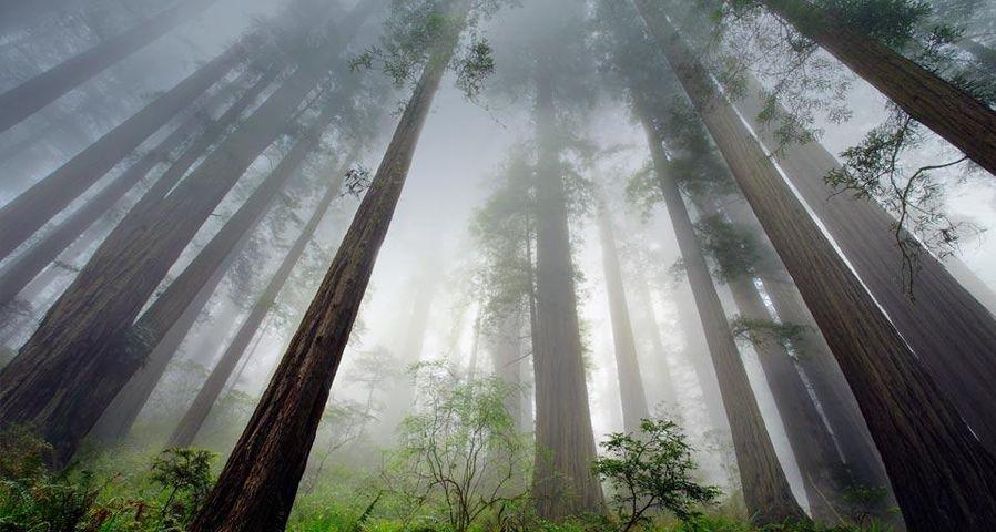 「レッドウッド国立公園」アメリカ, カリフォルニア州