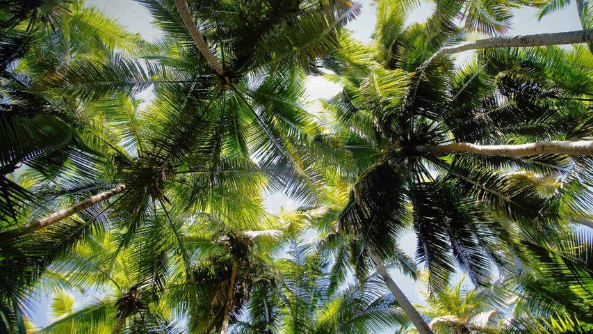 「マホ湾のヤシの木」アメリカ, ヴァージン諸島国立公園