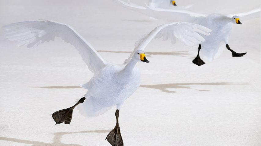 「オオハクチョウの渡り」北海道, 屈斜路湖