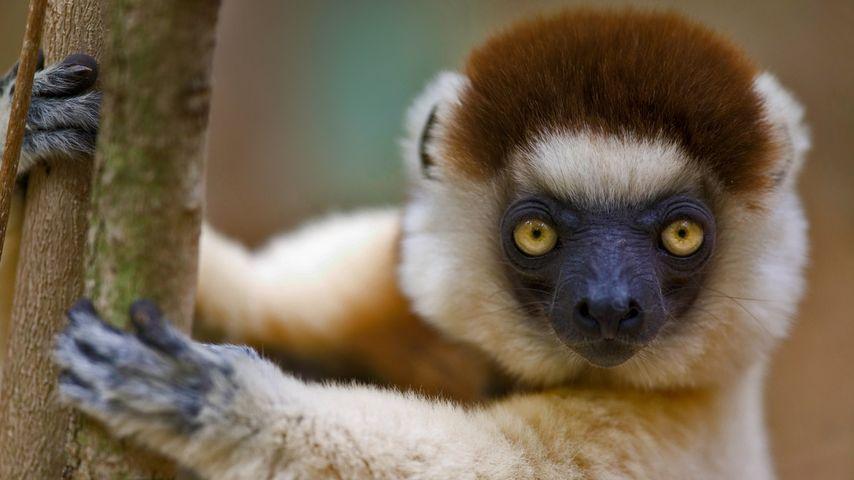 「ベローシファカ」マダガスカル, ベレンティー保護区