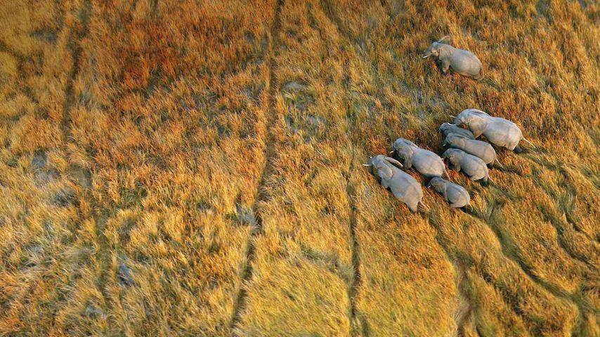「象の群れ」ボツワナ, オカバンゴ・デルタ