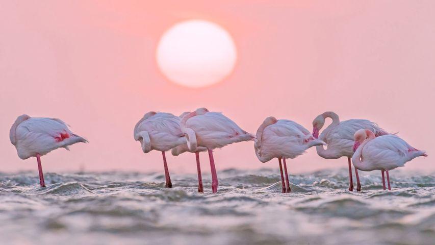 「オオフラミンゴ」ナミビア, ウォルビスベイ