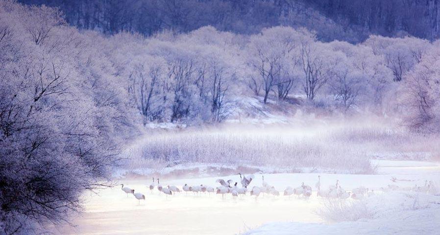 「タンチョウ」北海道, 釧路湿原国立公園