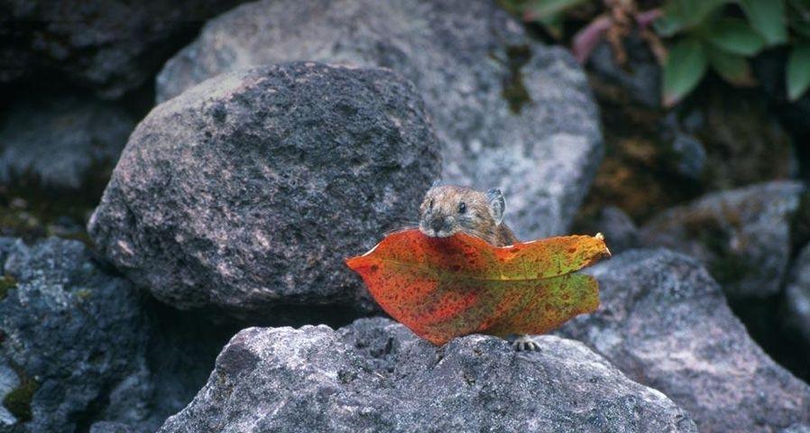 「エゾナキウサギ」北海道, 美瑛