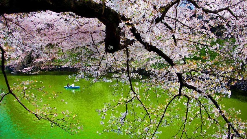 「千鳥ヶ淵」東京, 皇居
