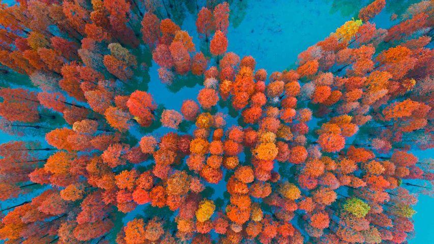 「紫馬嶺公園の紅葉」中国, 広東省, 中山市