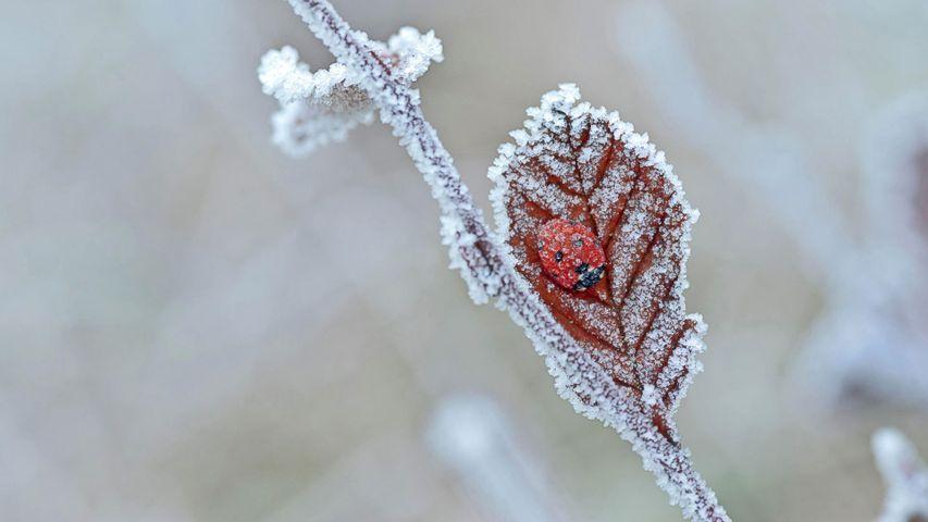 「テントウムシの越冬」イギリス, テイン