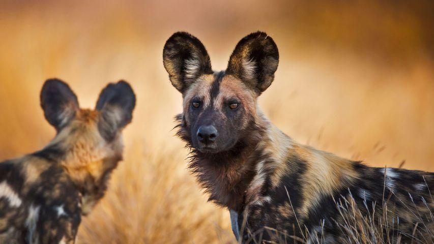 「リカオン」南アフリカ共和国, クルーガー国立公園