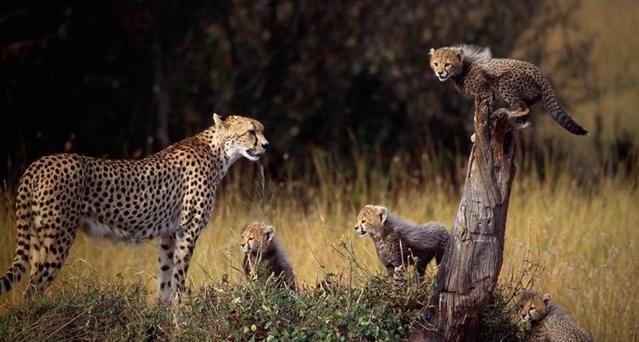 「チーターの親子」ケニア, マサイ・マラ国立保護区