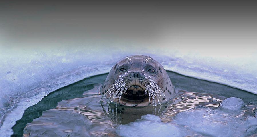 「オホーツク海のゴマフアザラシ」北海道, オホーツク海