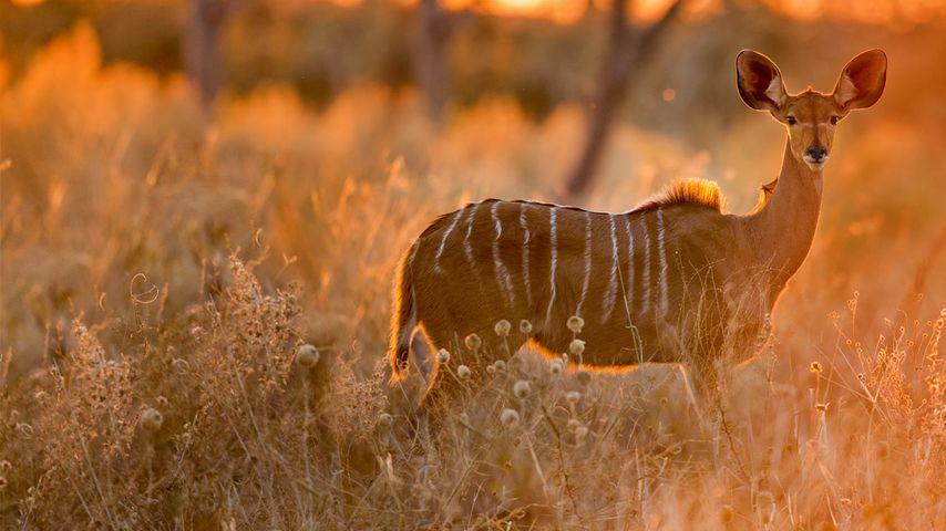 「クーズーのメス」ボツワナ, チョベ国立公園