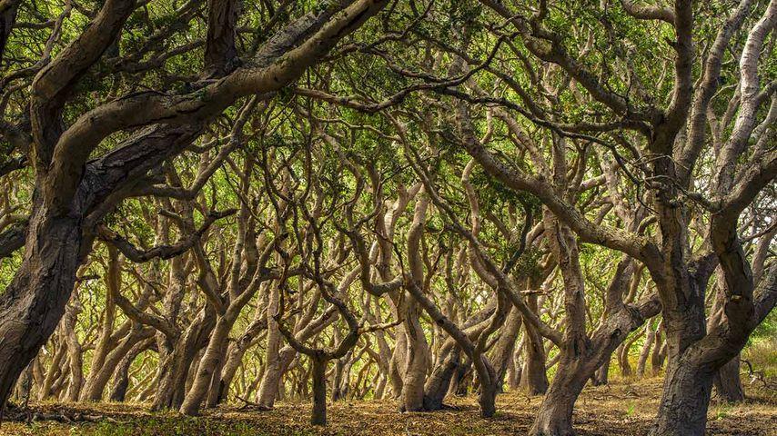 「オークの森」アメリカ, カリフォルニア州