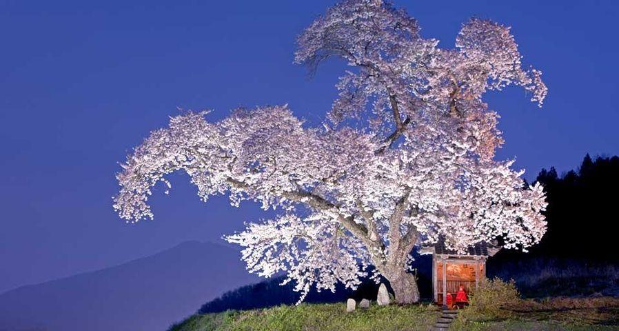「小沢の桜」福島, 田村市