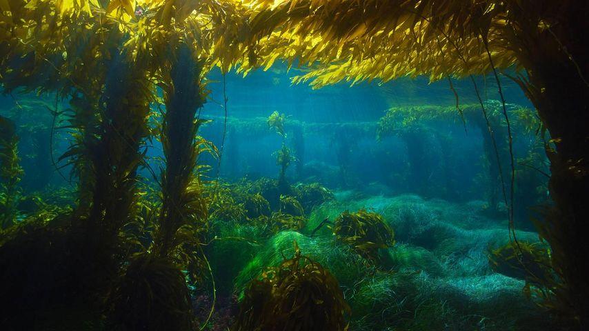 「ジャイアントケルプの森」アメリカ, カリフォルニア州