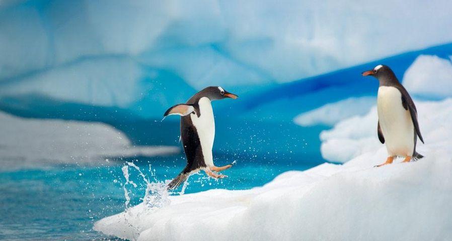 「ジェンツーペンギン」南極, ジェルラシュ海峡
