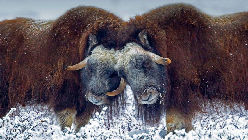 「ジャコウウシのオス」米国アラスカ州, プルドー・ベイ
