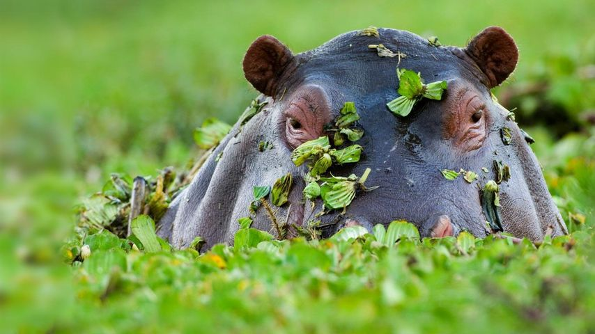 「カバ」ケニア, マサイマラ国立保護区