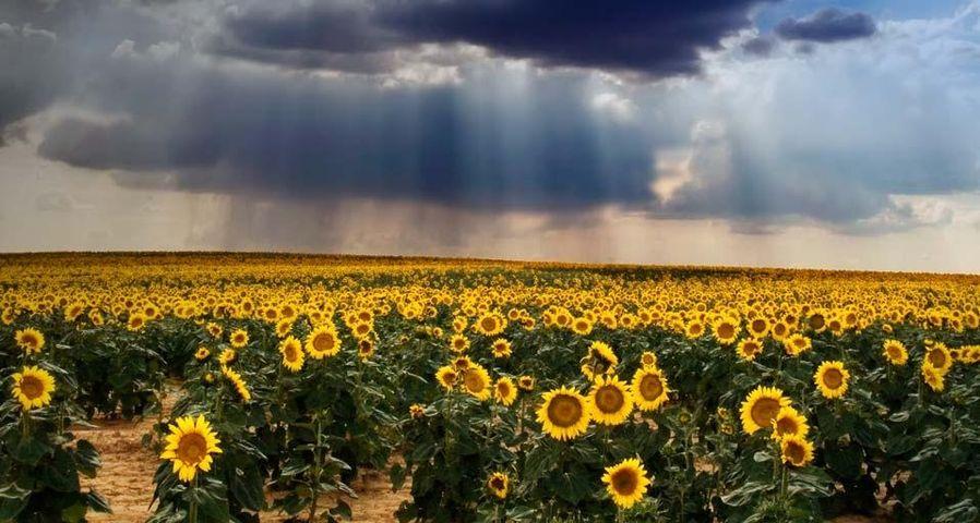 「ひまわり畑」スペイン, カスティーリャ・レオン州