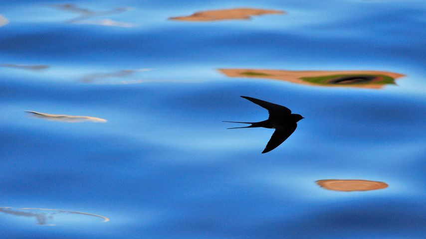 「ツバメの影」イギリス, スコットランド