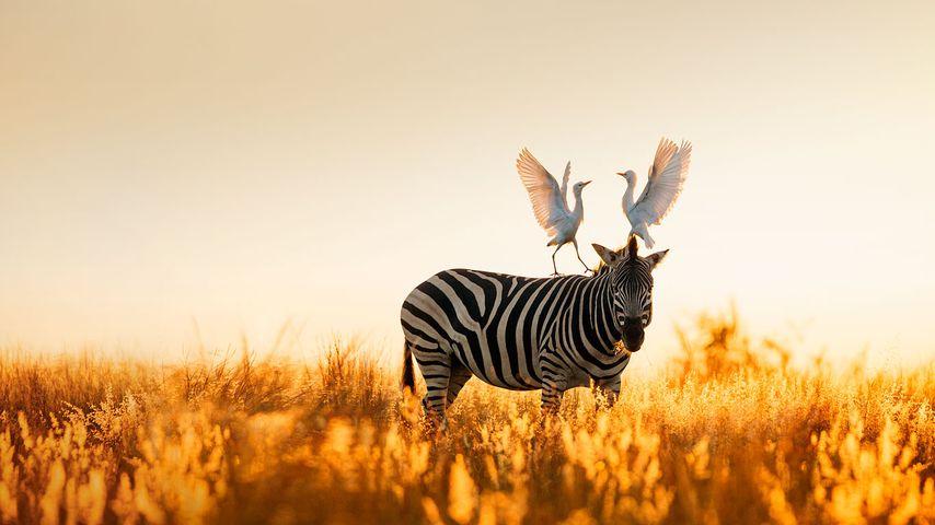 「バーチェルサバンナシマウマとアマサギ」南アフリカ