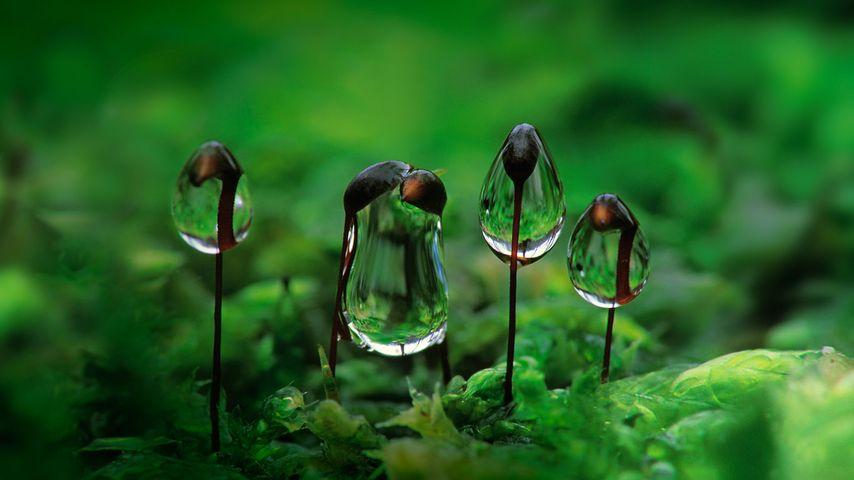 「苔の胞子体と朝露」