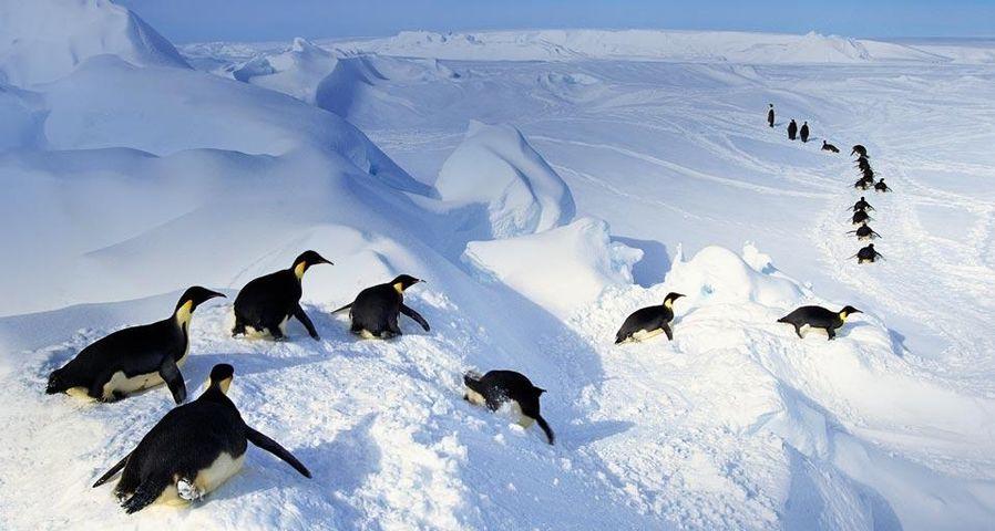 「コウテイペンギン」南極大陸