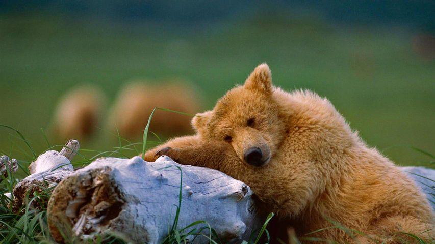 「ハイイログマの昼寝」アラスカ, カトマイ国立公園