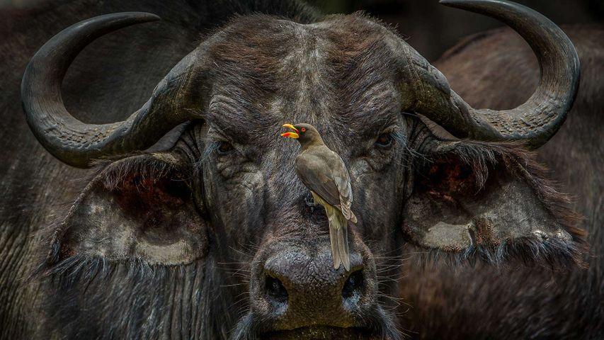 「ウシツツキとアフリカスイギュウ」ケニア, マサイマラ国立保護区