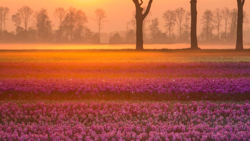 「グロッルー村のチューリップ」オランダ, ドレンテ州