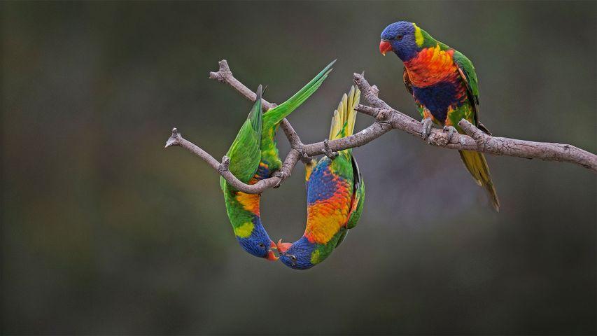 「ゴシキセイガイインコ」オーストラリア, ウェリビー