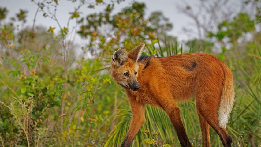 「タテガミオオカミ」ブラジル, ピアウイ州