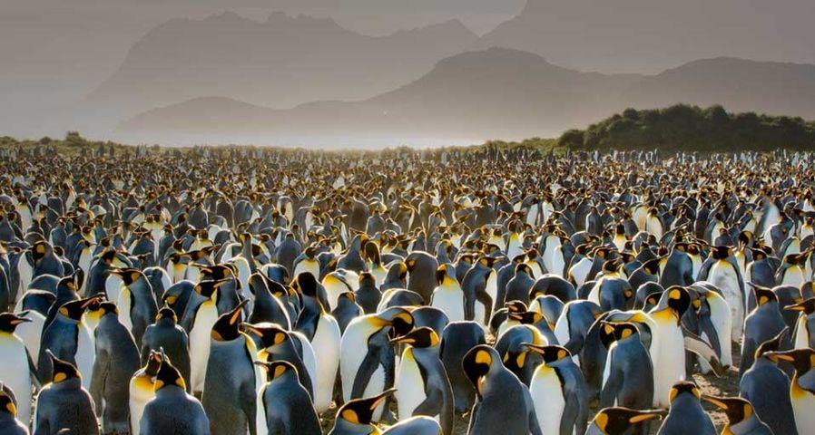 「キングペンギンのコロニー」サウスジョージア島