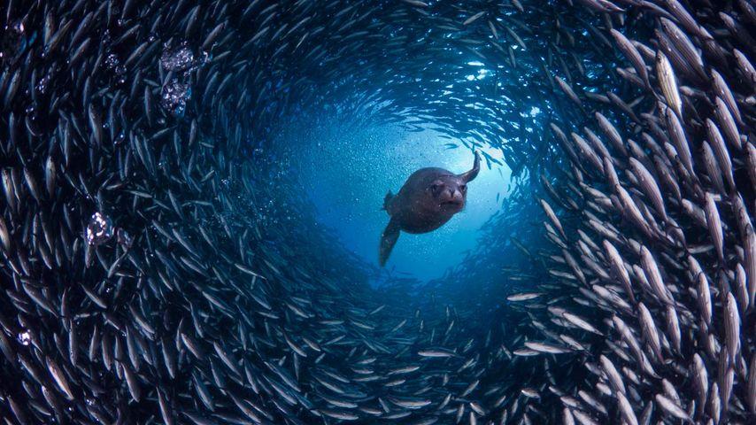 「魚のトンネルを抜けるガラパゴスアシカ」エクアドル, ガラパゴス諸島