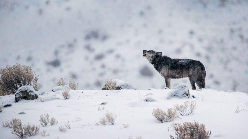 「ハイイロオオカミ」米国, イエローストーン国立公園