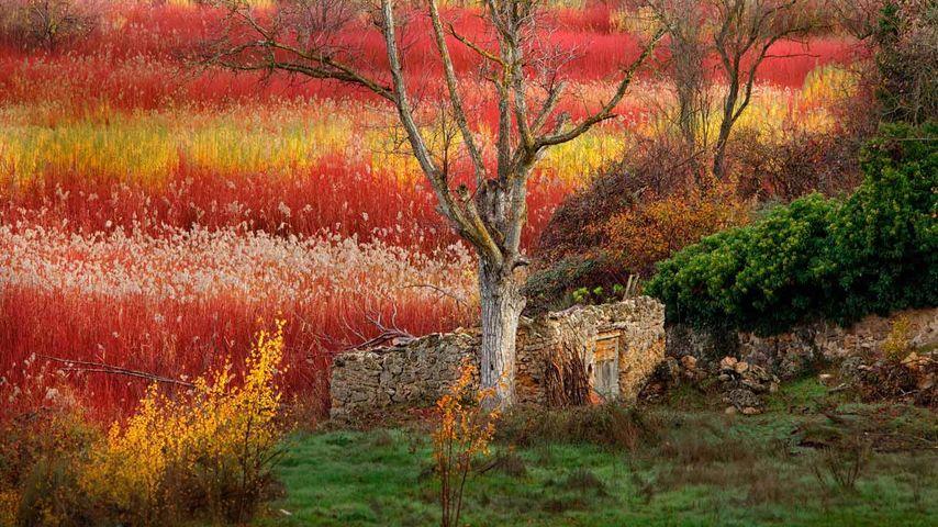 「セイヨウキヌヤナギの紅葉」スペイン, クエンカ
