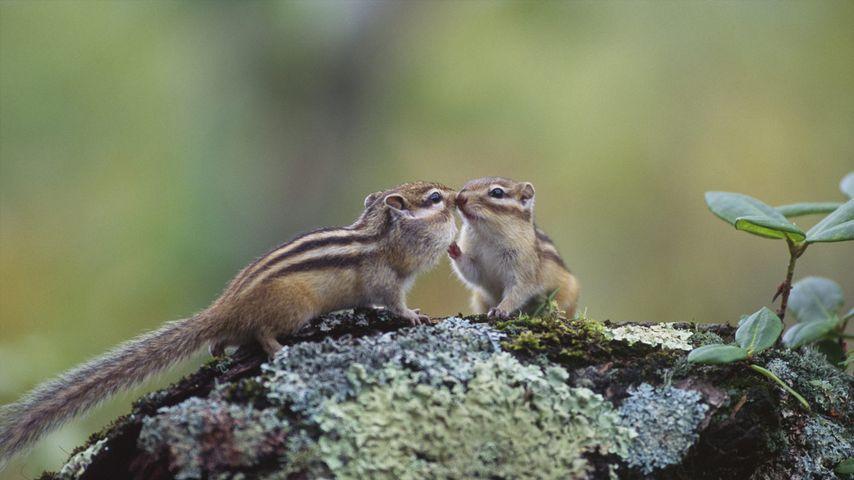 「エゾシマリスのカップル」北海道, 釧路