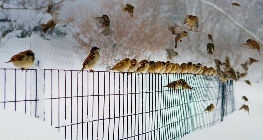 「雪の中の雀」アメリカ, ニューヨーク市