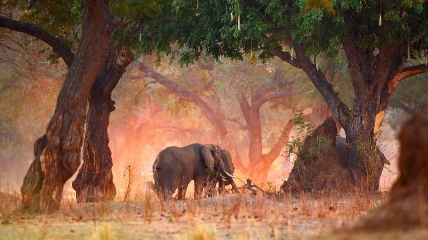 「アフリカゾウ」ジンバブエ, マナ・プールズ国立公園