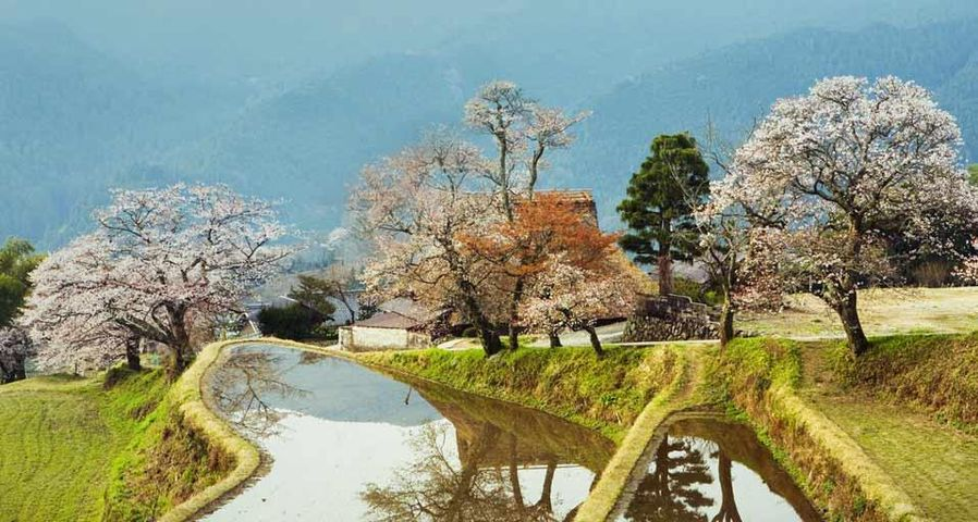 「三多気の桜」三重県, 津市