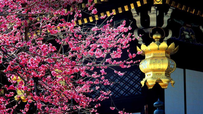 「北野天満宮の梅」京都, 上京区