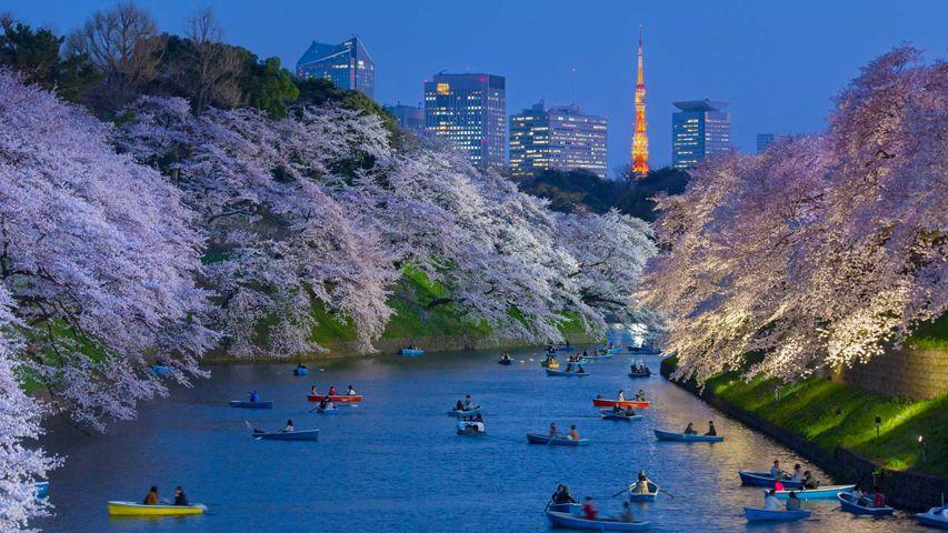 「千鳥ヶ淵の夜桜」東京都, 千代田区