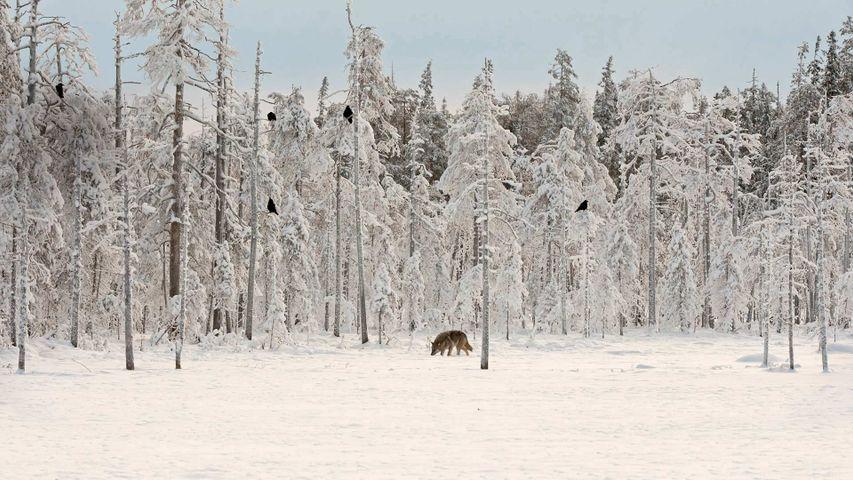 「ワタリガラスの群れとハイイロオオカミ」フィンランド