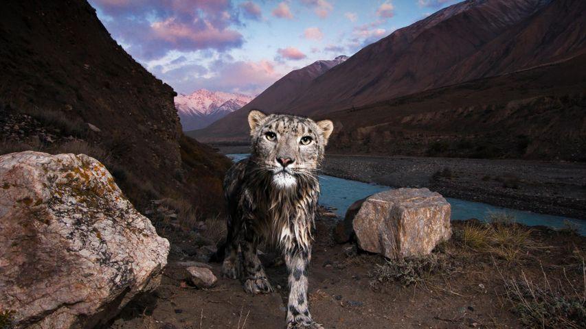 「ユキヒョウ」キルギス, 天山山脈