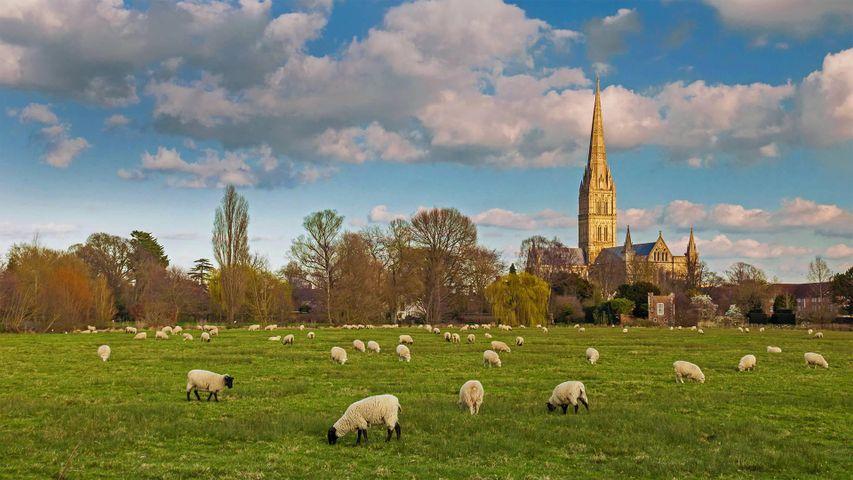 「ソールズベリー大聖堂と羊」イギリス、ソールズベリー