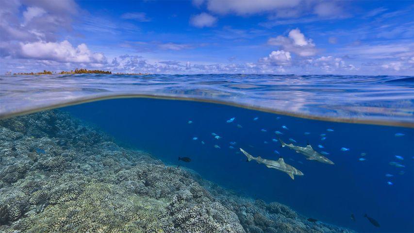 「タヒチ沖のブラックチップリーフシャーク」ポリネシア
