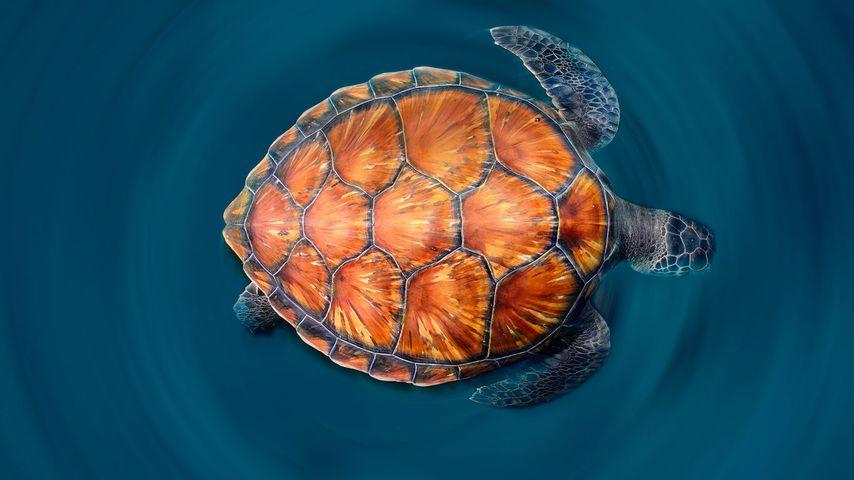 「アオウミガメ」スペイン, カナリア諸島