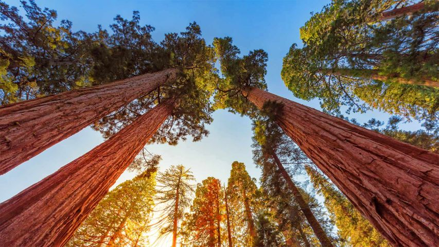 「ジャイアントセコイア」米国カリフォルニア州, キングズ・キャニオン国立公園