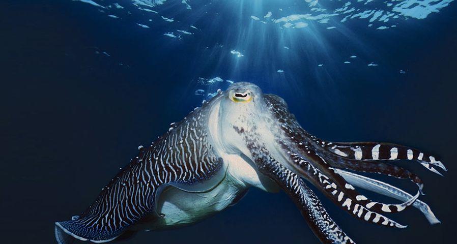 「コブシメの求愛行動」インドネシア