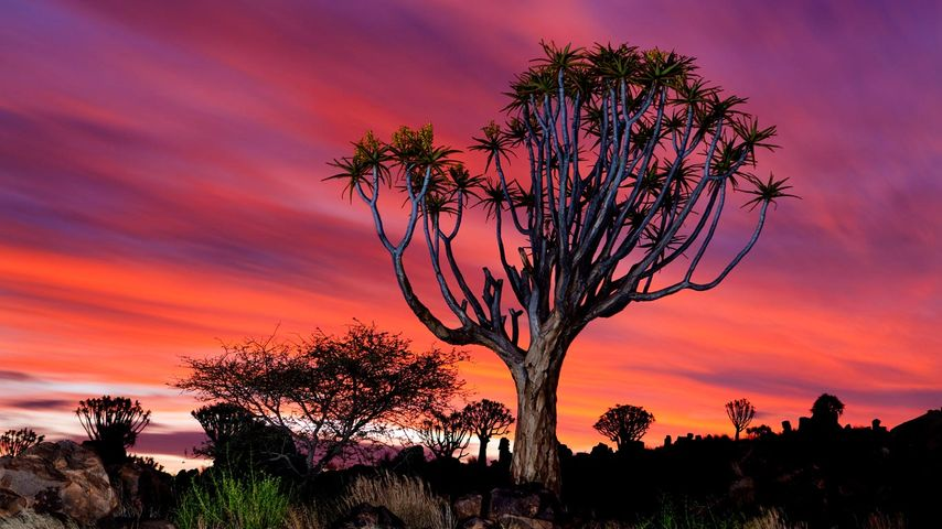 「クイバーツリー」ナミビア, ケートマンスフープ
